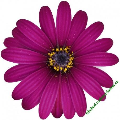 Osteospermum Erato Purple