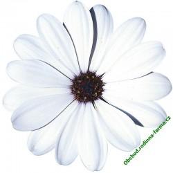 Osteospermum Erato White