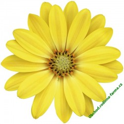 Osteospermum Erato Yellow