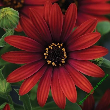 Osteospermum Erato Special Deep Red