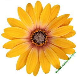 Osteospermum Erato Special Orange