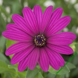 Osteospermum Tradewinds Deep Purple
