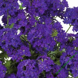 Verbena Vectura Deep Blue