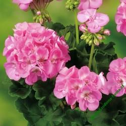 Muškát Grandeur Classic Pink