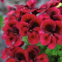 Muškát Clarion Dark Red