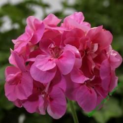 Muškát Temprano Pink