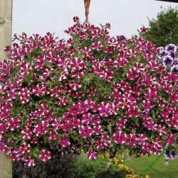 Surfinie Pegasus Special Burgundy Bicolor