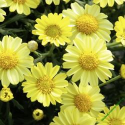 Kopretina Aramis Yellow