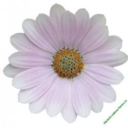 Osteospermum Erato Soft Pink