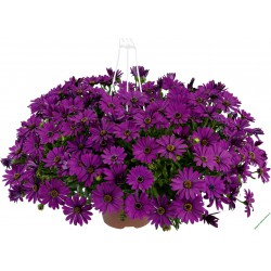 Osteospermum Erato Basket Purple
