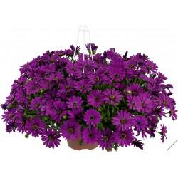 Osteospermum Erato Basket Purple