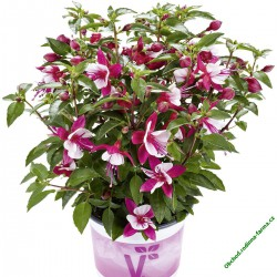 Fuchsia Fuchsita Carmine-White