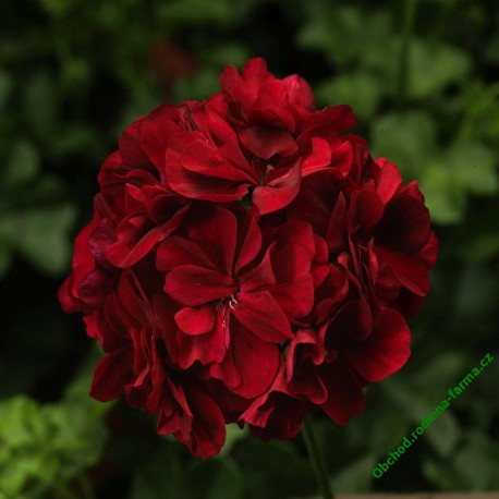 Muškát Temprano Dark Red