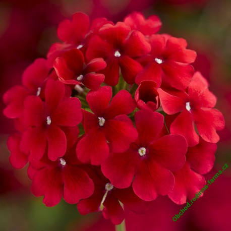 Verbena Lanai Early Deep Red