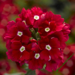 Verbena Lanai Up Scarlet wit Eye