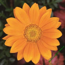 Gazánie zářivá Gazoo Clear Orange