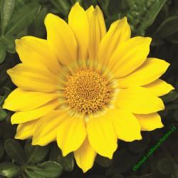 Gazánie zářivá Gazoo Clear Yellow
