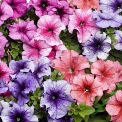 Petunia TriTunia Veined Mix