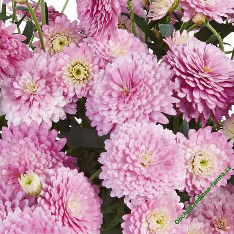 Kopretina Aramis Double Pink
