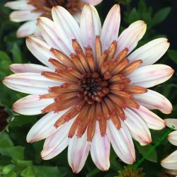 Osteospermum Erato Double Copper