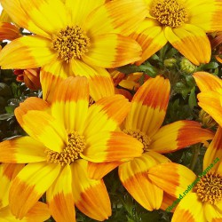 Dvouzubec (bidens) balkongold Hawaiian Flare Giant Yellow Red Tip