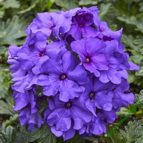 Verbena Vectura Blue