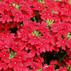 Verbena Vectura Scarlet