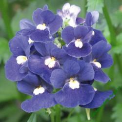 Hledíkovka (nemesia) Mareto Blue