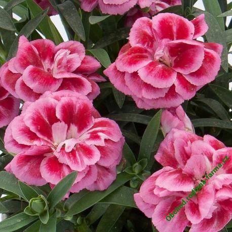 Karafiát sel® Oscar® Violet and Pink