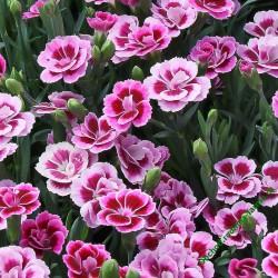Karafiát sel® Pink Kisses®