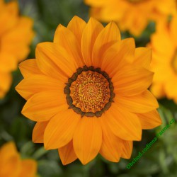 Gazánie zářivá Big Kiss F1 Orange