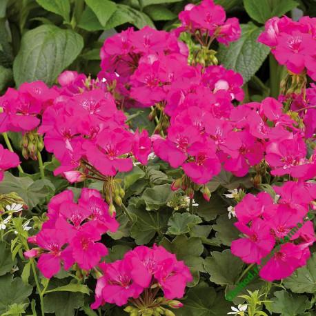 Muškát Summer Lovers® Lavender Rose