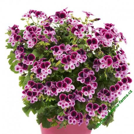 Muškát PAC Angeleyes Purple Lavender