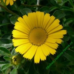 Hvězdička přímořská (Asteriscus)