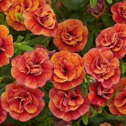 Million Bells Calita Double Orange