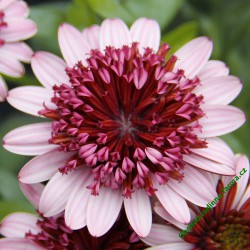 Osteospermum Erato Double Rose