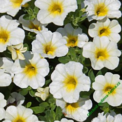 Million Bells sel® MiniFamous® Uno White + Yellow Eye