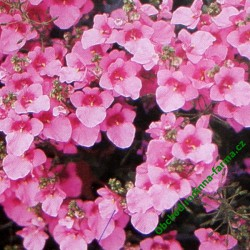 Diascie Divara Pink