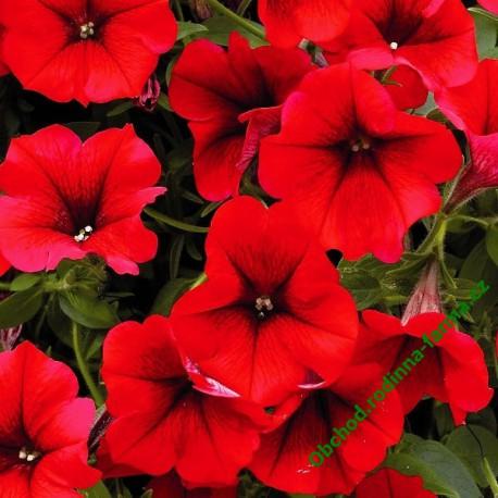Surfinie Table Dark Red