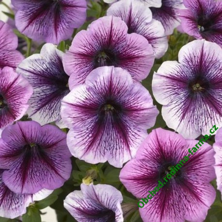 Surfinie Pegasus Purple Vein
