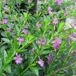 Japonská myrta (Cuphea) Purple