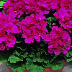 Muškát Grandeur Classic Violet