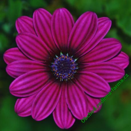 Osteospermum Sirocco Deep Purple