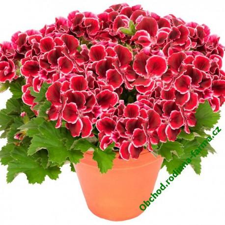 Muškát Aristo Red Beauty