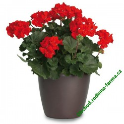 Muškát Grandeur Dark Velvet Red