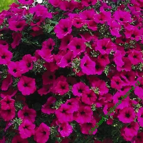 Surfinie Purple
