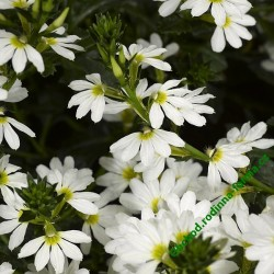 Scaevola Whirlwind Early Compact White