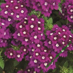 Verbena Lanai Royal Purple with Eye