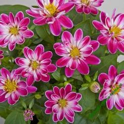 Jiřinka Dahlini Rose Bicolor