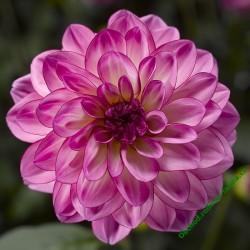 Jiřinka Grandalia Pink